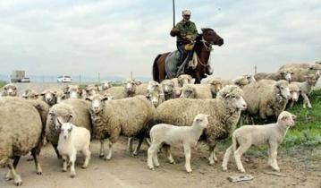 Террористы похитили отару овец и погнали ее в Россию