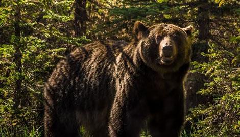 Рай для природы, в Чернобыльской зоне впервые за 100 лет появились бурые медведи