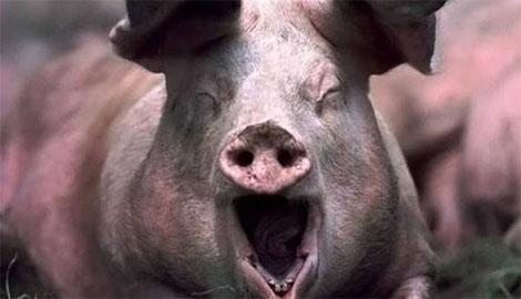Любить по-русски! На одном из мясокомбинатов РФ рабочие изнасиловали свинью