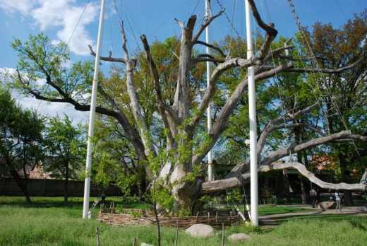В известный запорожский дуб которому 700 лет ударила молния, — соц. сети