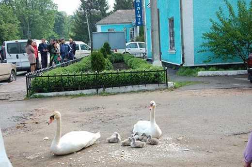В Украине будет мир? Лебединая семья пришла провожать винницких правоохранителей в зону АТО ВИДЕО