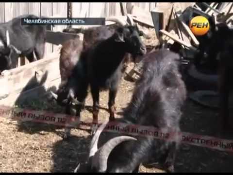 Русский педофил изнасиловал стадо коз.