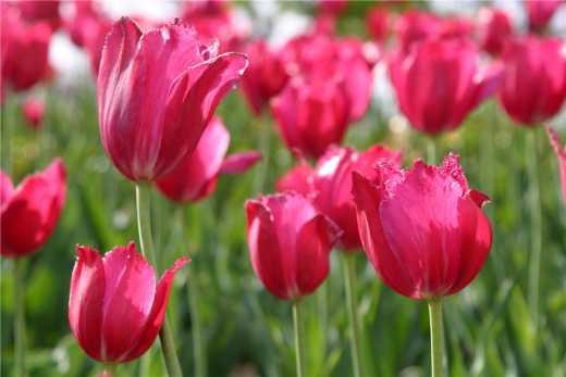 Россия отомстила Нидерландам за сбитый над Донбассом «Боинг», запретив импорт тюльпанов:)