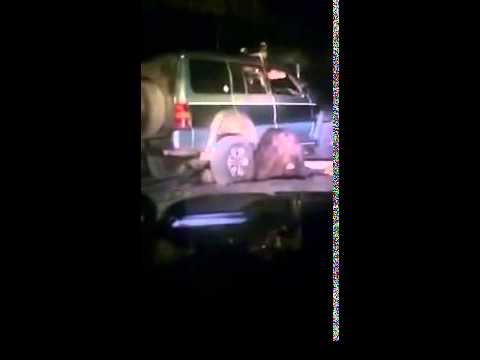 Россия. Сахалин – на джипе переехали медведя восемь раз и хотели добить (видео)
