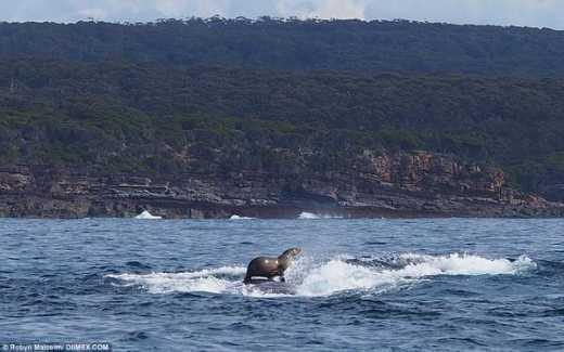 В Австралии тюлень катался на горбатом ките