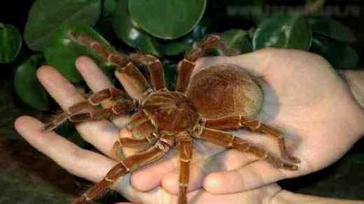 Яд паука обезболивает без побочных эффектов
