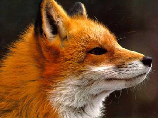 Лисиці зовсім скоро стануть звичайними домашніми улюбленцями