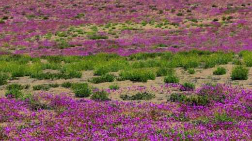 Чудо на Земле: Пустыня Атакама покрылась цветами