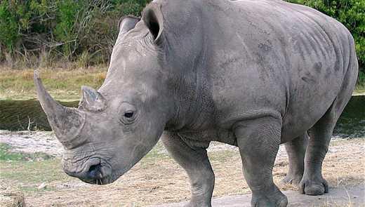 На планете осталось три северных белах носорога