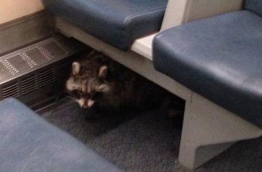 У Канаді єнот прокотився на потязі