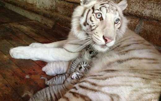 У ялтинському зоопарку померло друге дитинча Тигрюлі