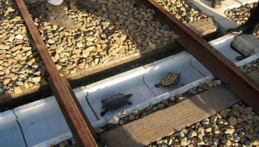 Черепахам Японії зробили залізнодорожні переходи (ВІДЕО)
