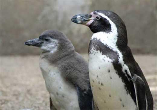 Немецкая полиция расследует таинственную смерть пингвина