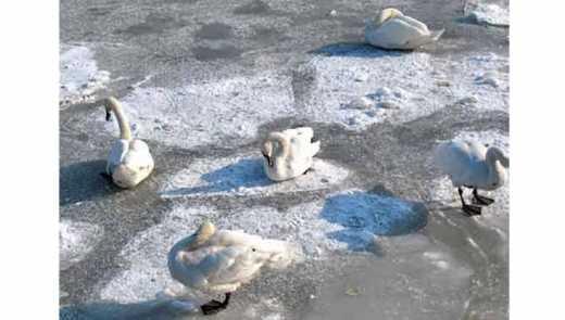 Машина із Києва врятувала 70 примерзлих до льоду лебедів на Житомирщині