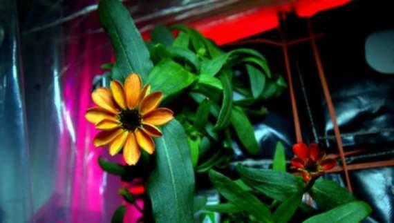 В космосе впервые распустился цветок (ФОТО) первый цветок 1