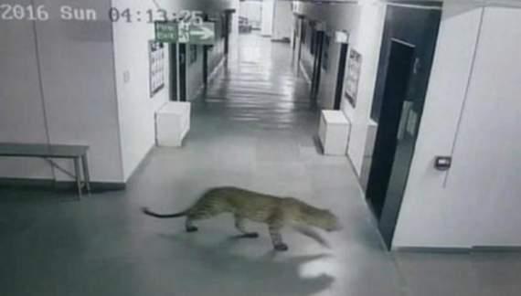 В Індії леопард напав на місцеву школу (ВІДЕО)