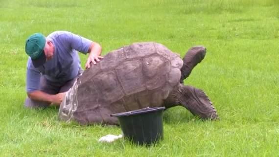 С самой старой черепахи в мире смыли двухсотлетнюю грязь (видео)