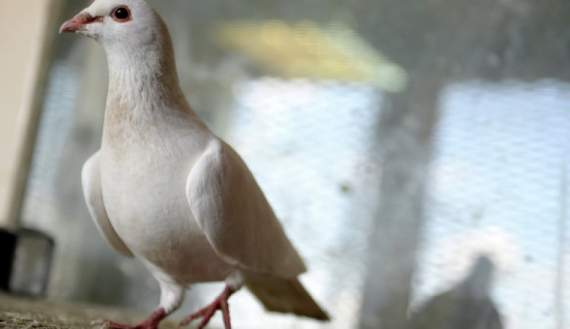 Два голубя депортированы из РФ в Таджикистан из-за отсутствия документов