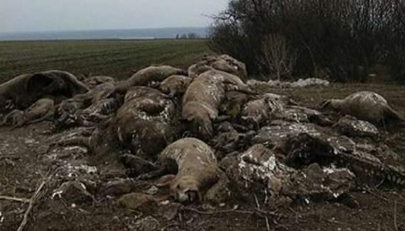 Жители восточной Украины нашли свалку трупов свиней