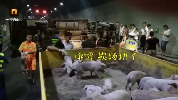 Полицейские час ловили 200 поросят в автомобильной пробке (видео)