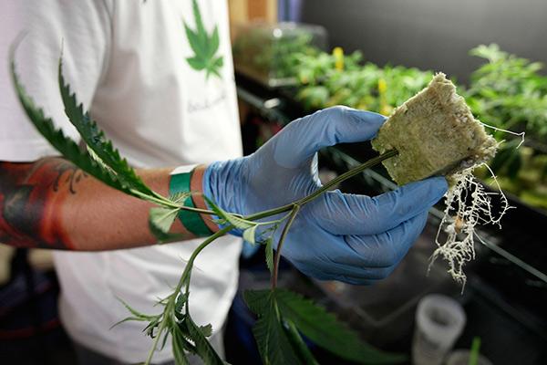 Сенат Канады легализовал марихуану