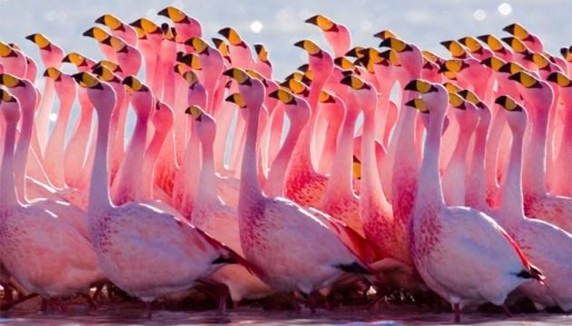 Уникальные розовые фламинго вернулись в Украину
