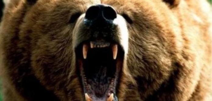 Голодні ведмеді в Росії почали розкопувати могили і їсти небіжчиків