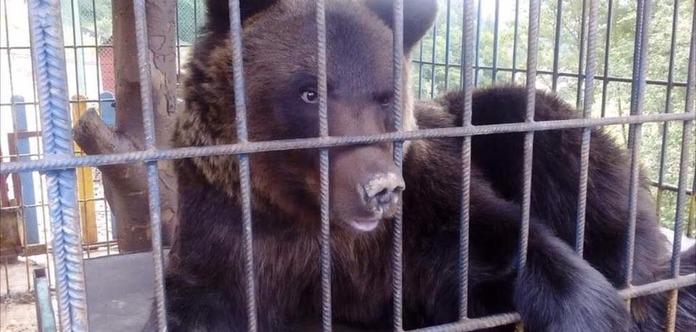 У Карпатах ведмідь ледь не загриз туристку на турбазі