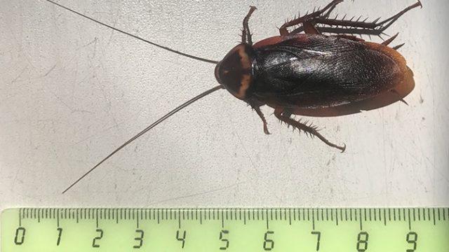 На Россию обрушилось нашествие летающих тараканов: разносят инфекции, «это проклятие»
