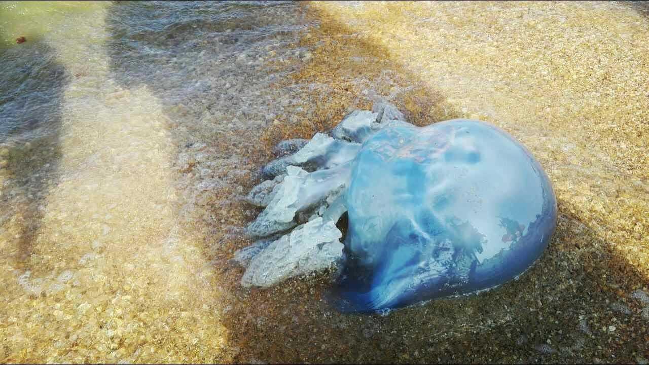 Путинский мост спровоцировал нашествие медуз-монстров в Азовском море. ВИДЕО