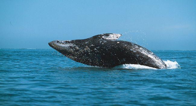 Бедняк из Таиланда неожиданно разбогател благодаря отрыжке кита