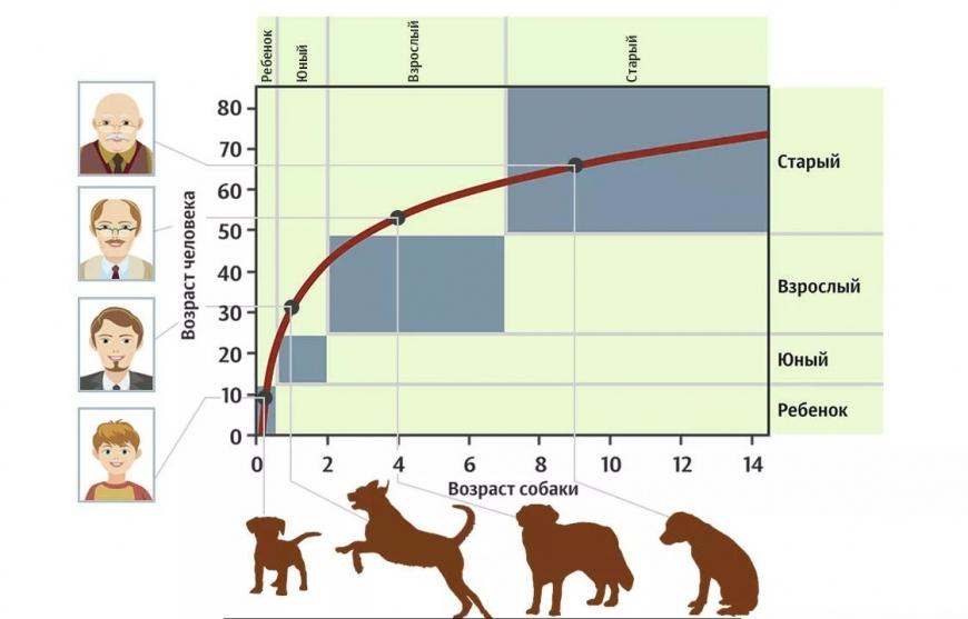 Как узнать истинный возраст собак по человеческим меркам