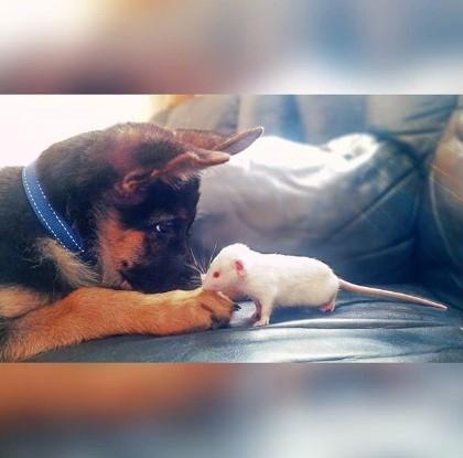 Новая любимица Сети: собака, «усыновившая» хорька