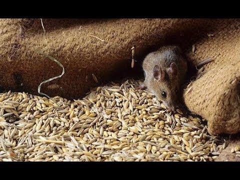У Чорткові «миші з'їли» 150 вагонів зерна