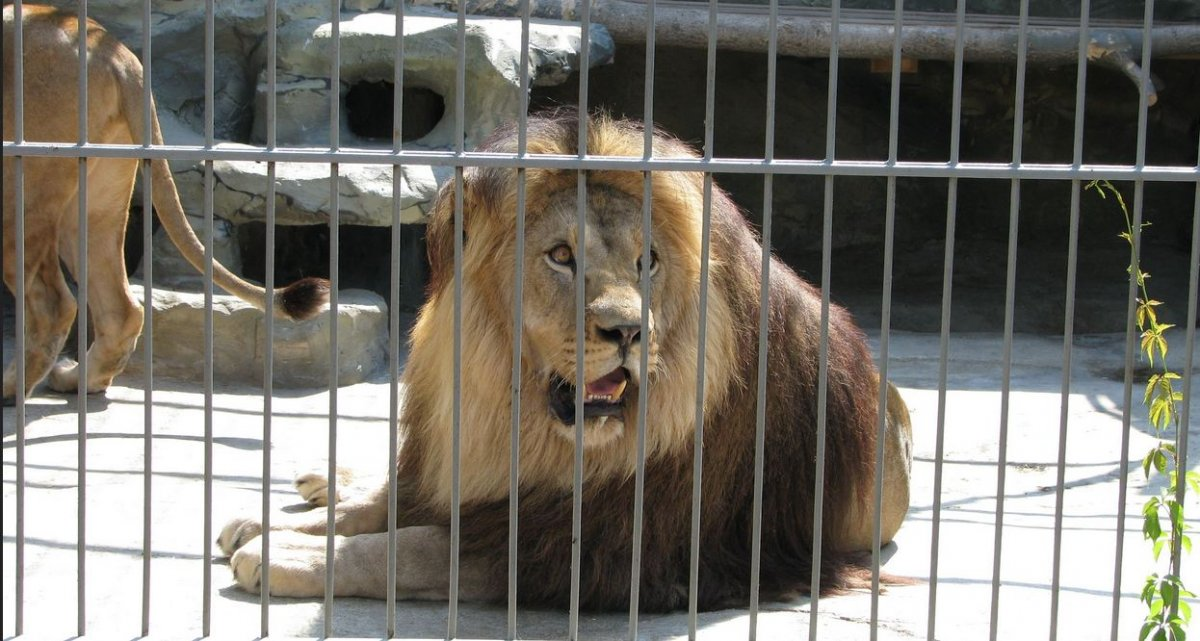 """Одесский """"смельчак"""" влез в клетку со львами: животные не пострадали"""