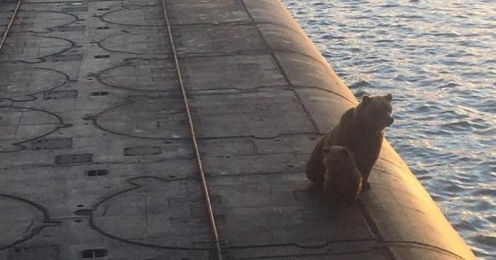 У Росії розстріляли ведмедицю з ведмежам, які вилізли на підводний човен (ВІДЕО)