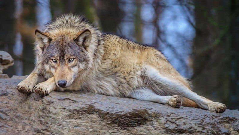 Бесстрашная собака погибла, спасая от волка своего 10-летнего хозяина