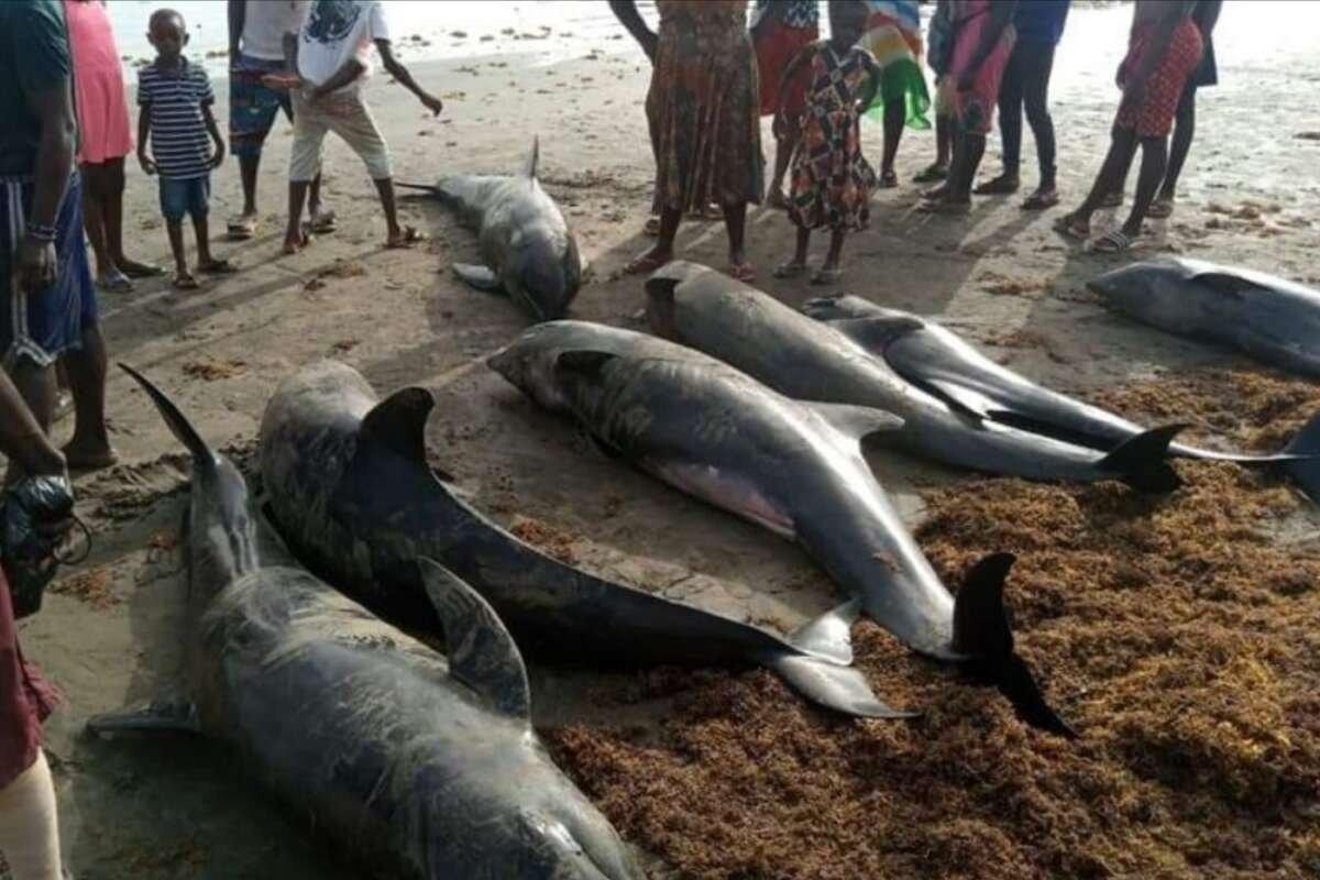 Сотни дельфинов погибли на берегу Атлантического океана